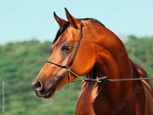 portrait of bay beautiful arabian stallion at mountain background