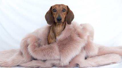 Dog wearing pink fur
