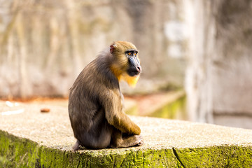Mandril monkey in Artis Zoo in Amsterdam Holland