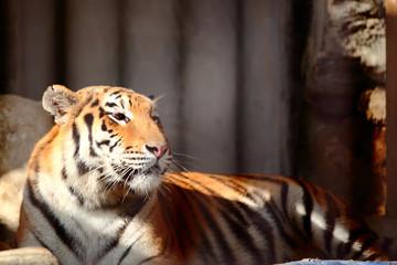 Photo sur Aluminium Animaux de Hipster Tiger