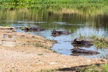 Thai buffalo in river