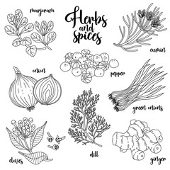Spices and herbs vector set to prepare delicious and healthy food. Contour botanical illustration on white background with marjoram, onion, cloves, pepper, cumin, ginger, green onions, dill.