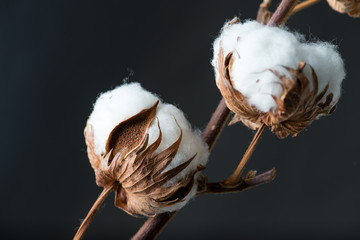 Cotton plant flower on dark background