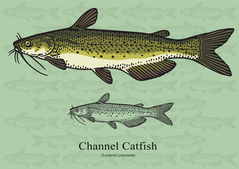 Channel Catfish. Vector illustration for artwork in small sizes. Suitable for graphic and packaging design, educational examples, web, etc.