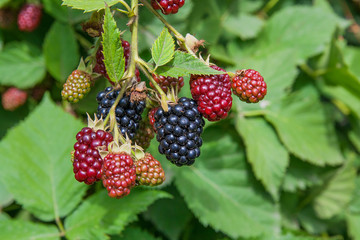 Close up view of a bunch of blackberry. Ripening of the blackber