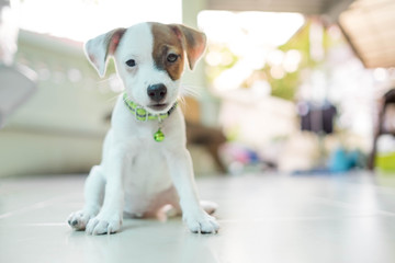 Very cute baby Jack russell terrier dog smiling portrait - close