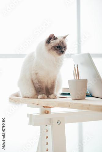 Lovely birman cat at home