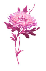 Ink illustration of blooming flower, chrysanthemum. Sumi-e, u-sin, gohua painting stile, colored in pink and purple colors. Silhouette made up of brush strokes isolated on white background.