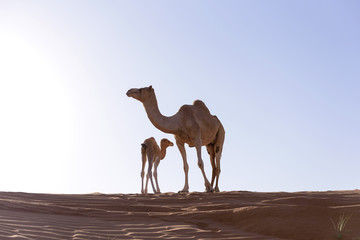 Camel with Calf in sand Dunes