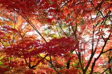 Colorful fall nature background of red autumn maple leaves with sunshine filtering through