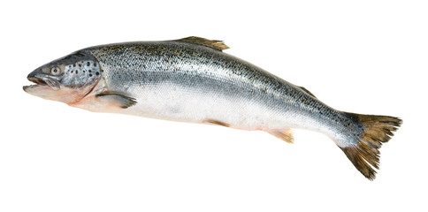 Foto auf AluDibond Fisch Salmon fish isolated on white without shadow
