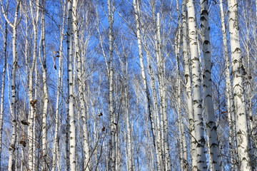 Beautiful landscape with white birches against Birch trees in bright sunshine. Birch grove in autumn.