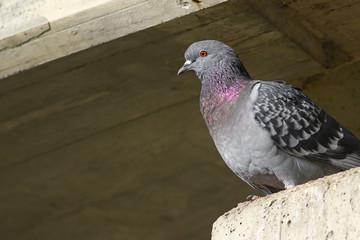 Traveling pigeon on concrete ledger