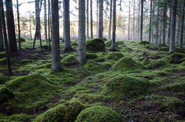 Old forest with soft green ground