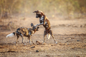 Two playing African wild dogs.