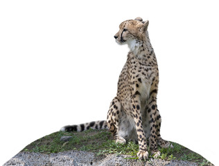 Cheetah sitting on a hill