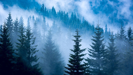 Papiers peints Forets pine forest in blue fog