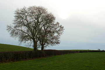 Common Ash trees in a farmland hedgerow in Ireland with the traditional small fields