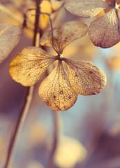 Herbstliche Hortensien - Verblühte Hortensien im warmen Herbstlicht