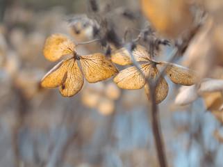 Verblühte Hortensien im warmen Herbstlicht
