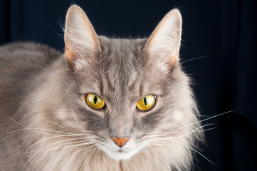 Adorable gray cat on black background
