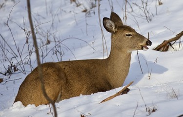 Beautiful background with a wild deer in the forest on the snow