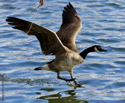 """""""Beautiful Isolated Photo Of A Wild Canada Goose Landing"""