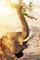 Wall Mural - Elephant Eating At Sunrise