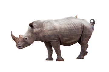 Rhinocerous With Bird on Back Isolated