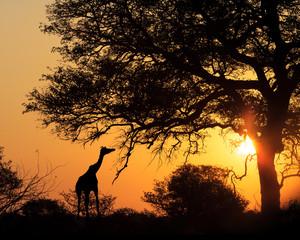 Wall Mural - Sunset Silhouette Giraffe Eating From Tree