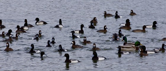 Beautiful photo of a swarm of ducks in the lake