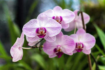 Pink orchid, queen of flowers. Tropical garden. Branch of pink orchids on a natural background.