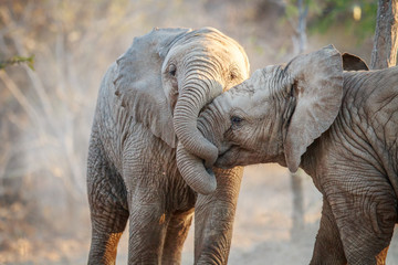 Two Elephants playing.