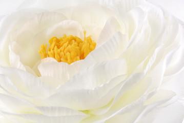 Rununculus Buttercup white flower macro