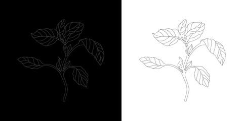 Line-art Basil Botanical Illustraton