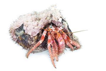 Hermit crab, Dardanus arrosor, Kemer, Antalya Region, Mediterranean Sea, Turkey, isolated on white background.