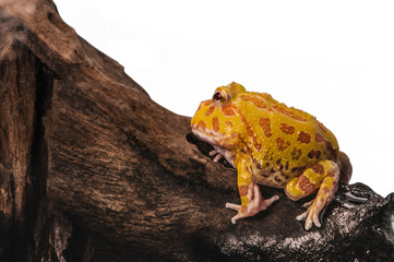Argentine Horned Frog or Pac-man frog is most common species of Horned Frog, from the grasslands of Argentina, Uruguay and Brazil.