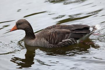 Greylag goose (Anser anser).