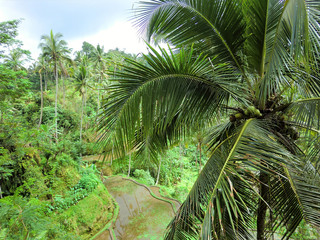 Palm tree with terraced rice fields in tropical Indonesian jungle