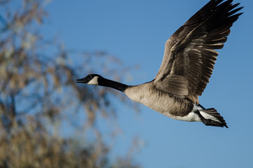 Close Look at Canada Goose Flying Past the Autumn Trees