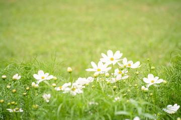 white flower and green grass for background