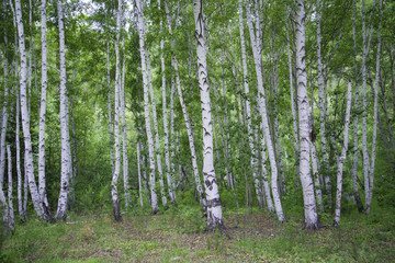 Poster de jardin Bosquet de bouleaux Beautiful birch forest in summer.