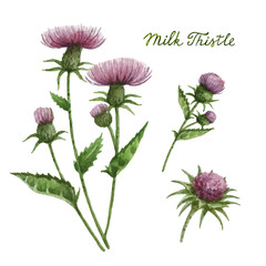 Watercolor vector illustration of milk Thistle.