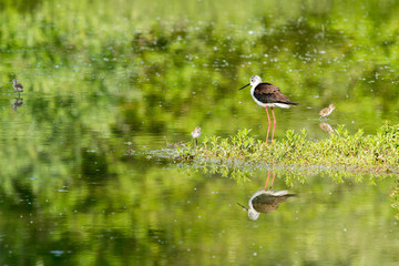 black-winged stilt with newborn baby puppy hiding under