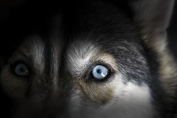 Close up on blue eye of Siberian husky dog in dark