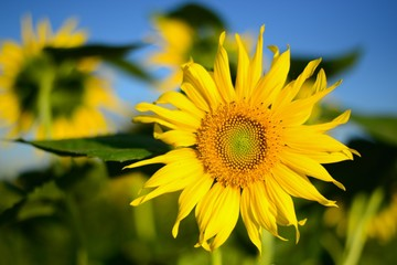 Beautiful picture. Sunflower, foreground.