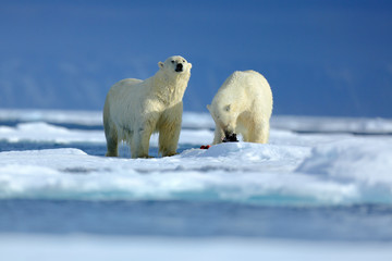 Polar bear couple cuddling on drift ice in Arctic Svalbard. Bear with snow and white ice on the sea. Cold winter scene with dangers animals. Wildlife scene with two polar bears from the Arctic.