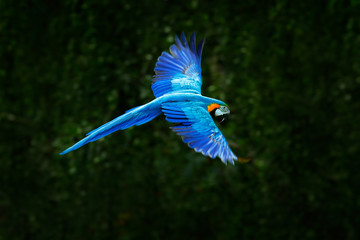 Big blue parrot in fly. Ara ararauna in the dark green forest habitat. Beautiful macaw parrot from Pantanal, Brazil. Bird in flight. Action wildlife scene from South America.