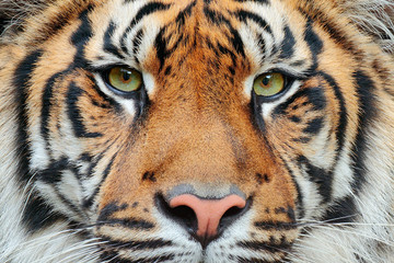 Poster de jardin Tigre Close-up detail portrait of tiger. Sumatran tiger, Panthera tigris sumatrae, rare tiger subspecies that inhabits the Indonesian island of Sumatra. Beautiful face portrait of tiger. Striped fur coat.
