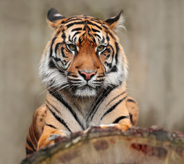 Portrait of dangerous animal. Sumatran tiger, Panthera tigris sumatrae, rare tiger subspecies that inhabits the Indonesian island of Sumatra. Tiger sitting on the tree trunk. Big animal from Asia.